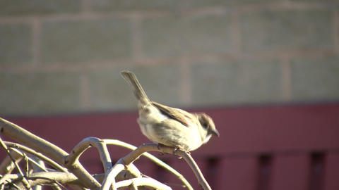 Cute bird is perched on a twig (High Definition) Stock Video Footage