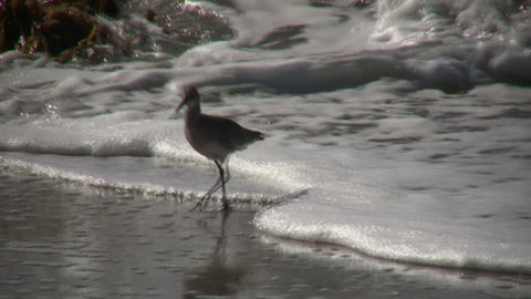 Black-necked Stilt casually walks on sunny beach (High... Stock Video Footage