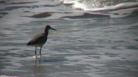 Black-necked Stilt casually walks on sunny beach (High Definition) Footage