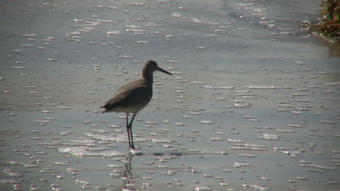 Black-necked Stilt casually walks on sunny beach (High... Stock Video Footage