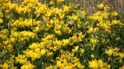 Some birdsfoot trefoil wildflowers are absorbing the sunlight (High Definition) Footage