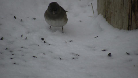 Hungry female Cardinal is eating the yummy seeds (High... Stock Video Footage