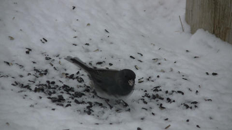 Hungry bird is happily feeding on available seeds (High... Stock Video Footage