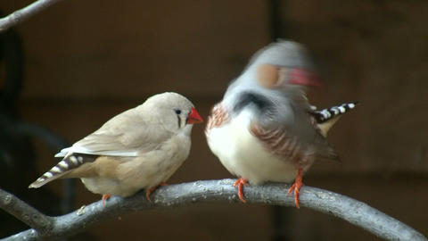 Excited Zebra Finch birds are perched on branch (High Definition) Footage