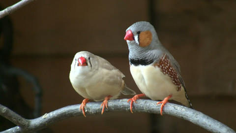 Excited Zebra Finch birds are perched on branch (High... Stock Video Footage
