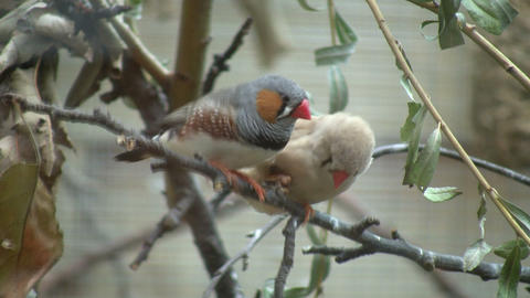 Zebra Finch birds are cuddling on a branch (High Definition) Footage