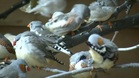 Community of Zebra Finches are grooming themselves (High Definition) Footage