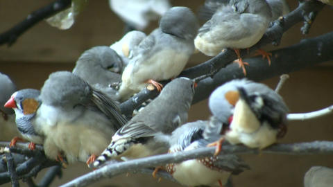 Community of Zebra Finches are grooming themselves (High... Stock Video Footage