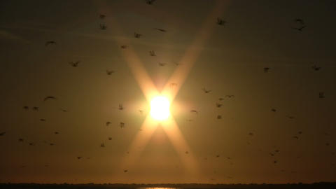 Flock of birds are shilouetted against the sun (High... Stock Video Footage