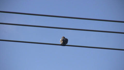 Pigeons Sitting on a Wire 2 (High Definition) Stock Video Footage