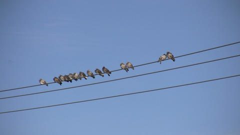 Birds Sitting on a Wire 4 (High Definition) Stock Video Footage