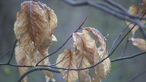 Leaves on a branch gently sway in wind (High Definition) Stock Video Footage