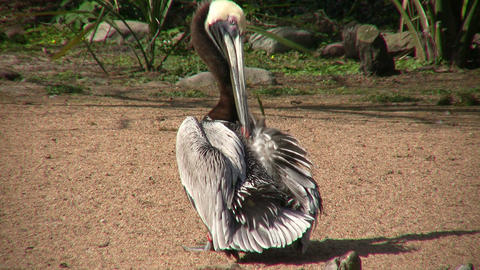 Brown Pelican is busy grooming itself on a sunny day Stock Video Footage