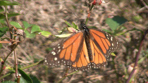 Monarch butterfly casually rests on a branch, soaking up... Stock Video Footage