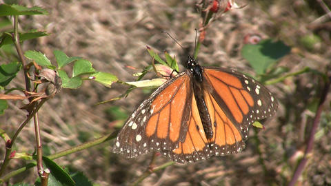 Monarch butterfly casually rests on a branch, soaking up sunlight Footage