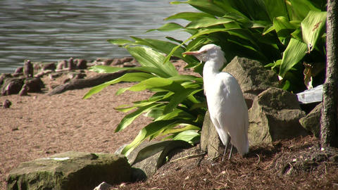 Cattle Egret bird rests by the sunny shoreline Stock Video Footage
