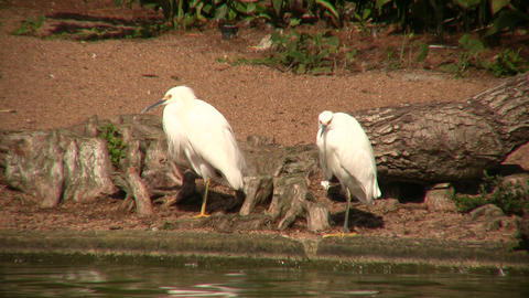 Cattle Egret birds are resting by the sunny shoreline Stock Video Footage