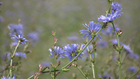 Chicory wildflowers gently sway in the wind (High Definition) Footage