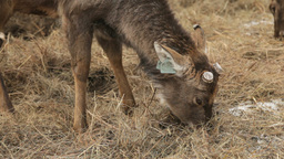 Deer Snack stock footage