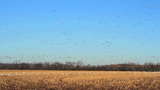Flock Of White Geese stock footage