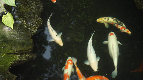 Kai Carp In A Pond stock footage