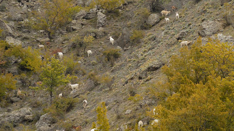sheep and goats graze on mountain meadows Footage