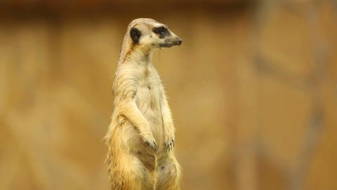 Meerkat on guard Footage