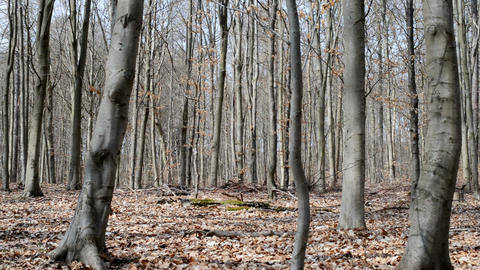 Beech forest in spring Footage