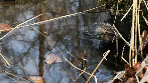 Spider, Nephila clavata Footage