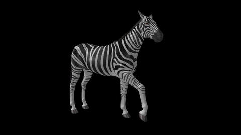 Zebra III - Loop - Alpha Channel stock footage
