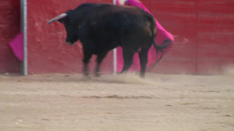 Powerful spanish bull, bullfight arena Footage