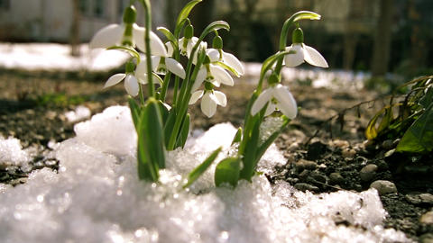Melt Snow And Snowdrops stock footage