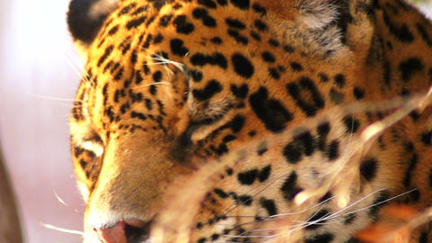 The Graceful Jaguar stock footage