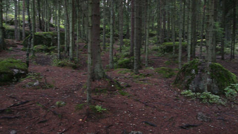 panorama of dark forest - mossy trees on rocks Footage
