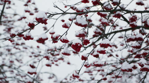 ash-berry red branches under snow at winter Footage