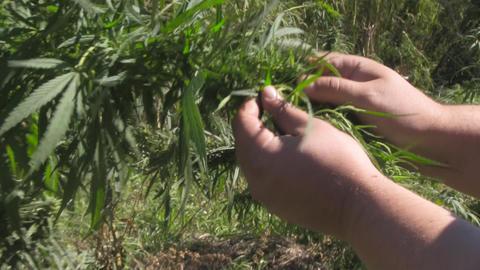 Cannabis stock footage