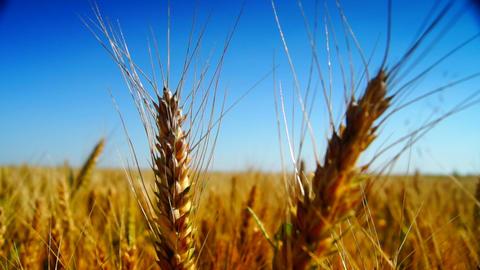 field of golden wheat Footage