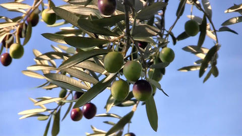Olive Fruits Close Up stock footage