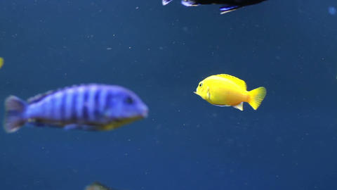 Colorful aquarium fish Footage