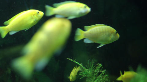 A Flock Of Yellow Fish Aquarium stock footage