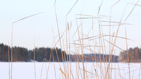 Reeds swiging in the breeze Footage