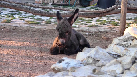 Baby Donkey stock footage