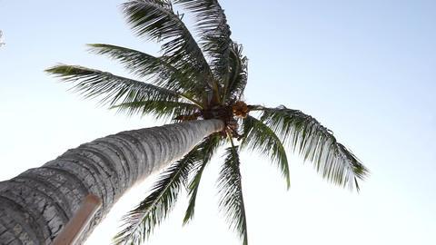 Tall Palm Tree Footage