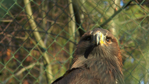 head of golden eagle in cage closeup Footage