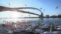 Slow Motion. Swarm Of Birds. Seagull Swan stock footage
