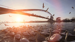 Beautiful Sunset. Swan Swarm Birds stock footage