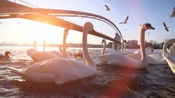 swan birds. lake sunset dusk romantic Footage
