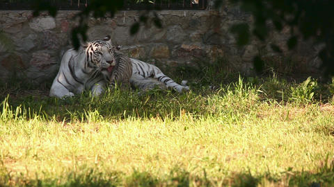 Tigress and her cubs Live Action
