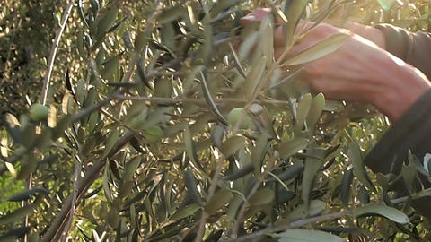 Picking Green Olive Friuts stock footage