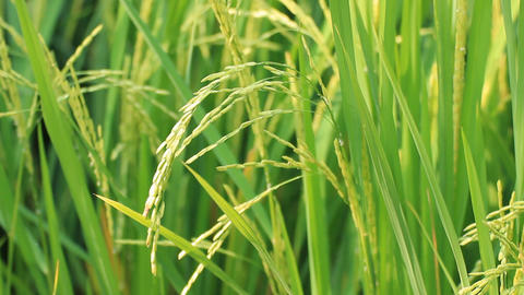 Green Rice Paddies stock footage